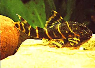 L103-Clown-Plecostomus.jpg